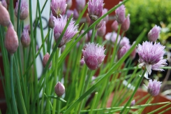 The chives are blossoming! Photo by Grey Catsidhe, 2013.