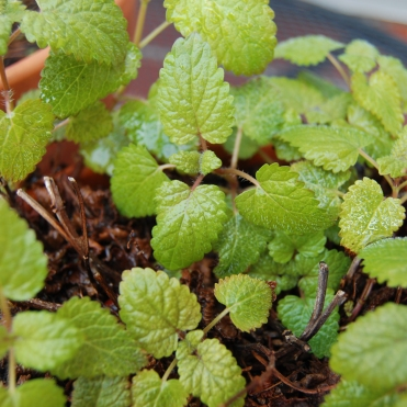 The herbs are looking hearty. Photo by Grey Catsidhe, 2013.