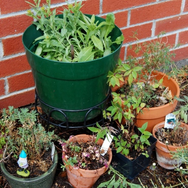 Look at all my lovely herbs here! Pictured are woad, lavender, oregano, pineapple sage, rosemary, and silver sage. Photo by Grey Catsidhe, 2013.