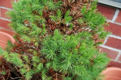 We suspected that one of our potted trees was done for. The dwarf spruce was looking brown, dry, and dead after the winter... I felt so bad but couldn't bring myself to just throw him into the forest yet... Given some time, love, and lots of water, he's showing new growth! I need to carefully trim some of the old, dead bits and probably transplant him later in the season. Photo by Grey Catsidhe, 2013.