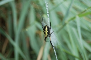 A black and yellow garden spider.  Photo by Grey Catsidhe, 2014.