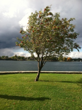 Rowan tree in Alexandria Bay, NY.  Photo by Grey Catsidhe, 2014.